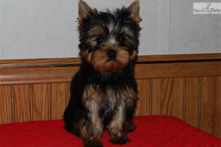 Meet Michelangelo a cute Yorkshire Terrier - Yorkie puppy for sale for $800. CH sired PET Next day pets.com