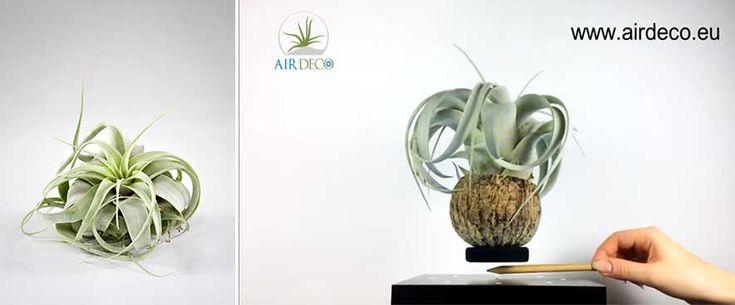 Plante aeriene care leviteaza