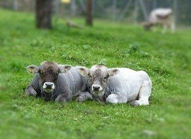 twin calves - veaux
