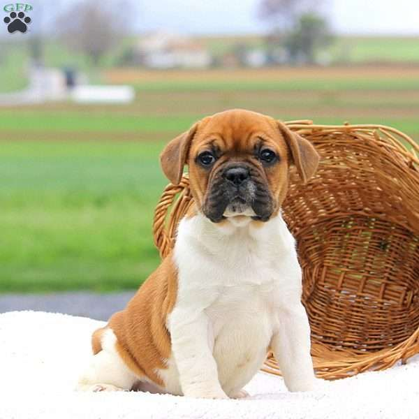Polly Frengle Puppy For Sale In Pennsylvania Puppies Dog