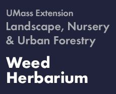 good description if you already know name....Weed Herbarium | UMass Amherst Landscape, Nursery & Urban Forestry Program