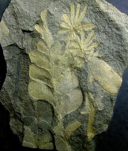 Plant fossil found near Clearfield, Pennsylvania. It is from the Pennsylvanian (Upper Carboniferous) period -- 286 to 325 million years old.
