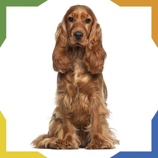 El Cocker Spaniel Inglés es una raza de perro originaria de Gales. Es de tamaño mediano y de pelo largo. Es un excelente perro de cacería utilizado para levantar las aves. Se destaca por su entusiasmo en el campo y su agilidad para correr en los matorrales en busca de presas. Es un perro dulce, sociable, afectuoso y muy apegado a su amo.