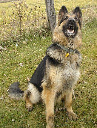 King Shepherd! Super cute...