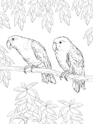 Eclectus Parrot Coloring Page From Parrots Category Select 25105 Printable Crafts Of Cartoons Nature Animals Bible And Many More