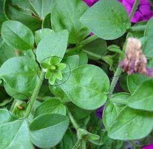 Petunien-Samenkapseln: wie bekomme ich Samen von meinen Petunien?