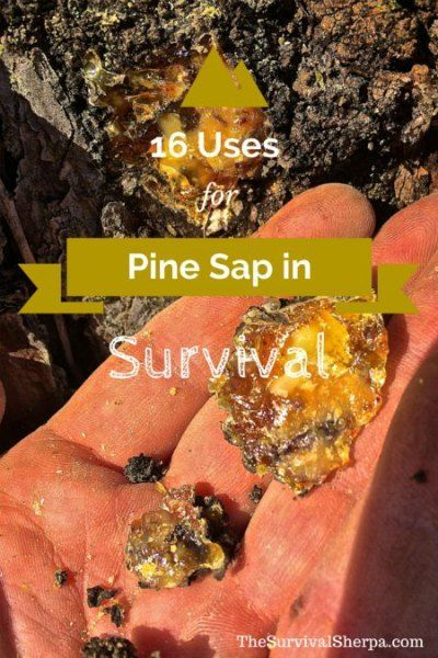 16 Survival Uses For Pine Sap
