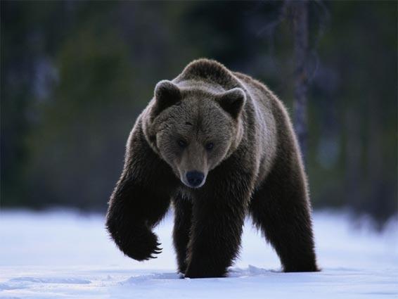Ours brun dans la neige