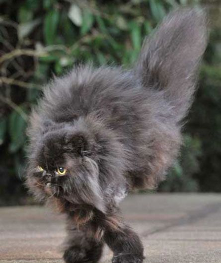 53c85f84d936f8477816ea4498443ddf normal life persian cats 203 best persians images on pinterest animals, kitty cats and,Two Legged Cat Meme