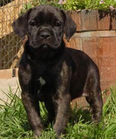 CastleGuard Cane Corso - Breeder with Puppies in CO