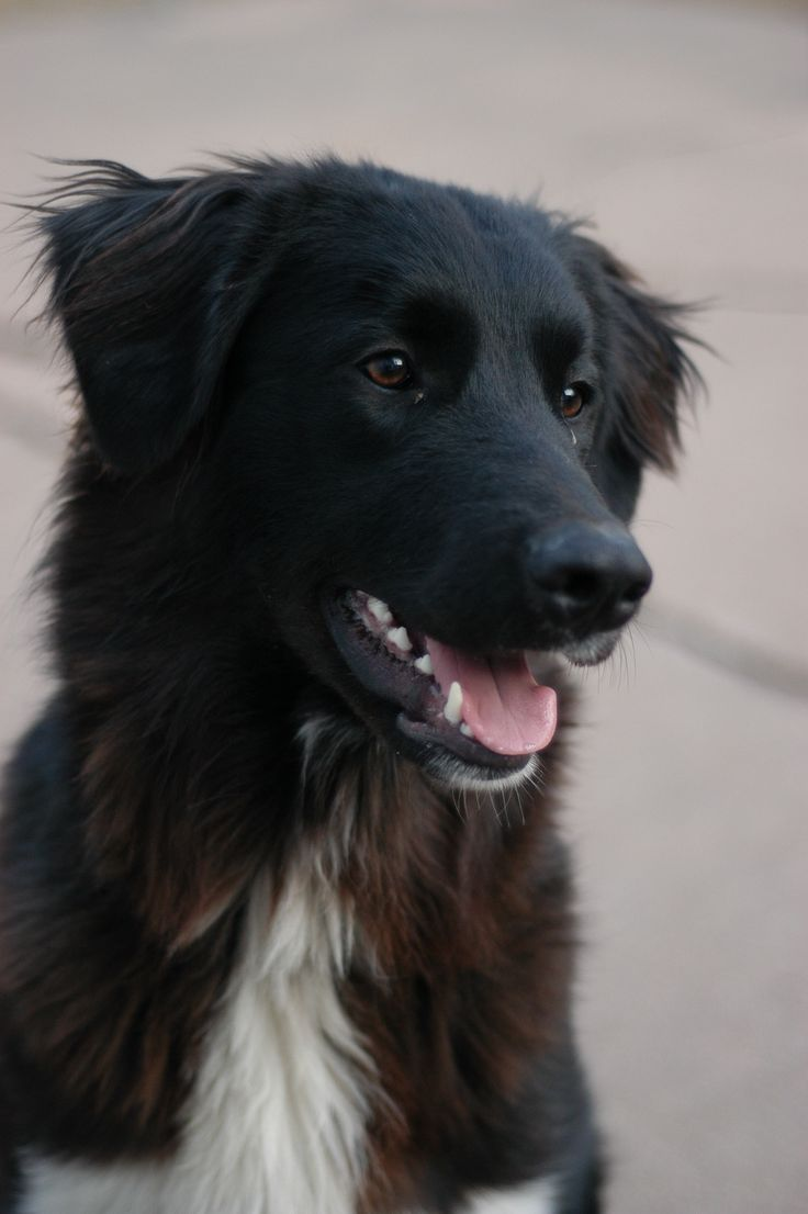 My Great Pyrenees/Border Collie mix <3