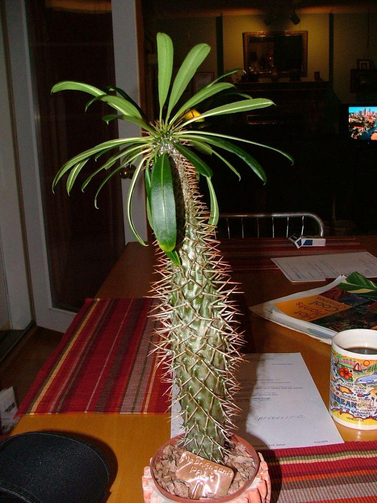 Succulent Cactus Care