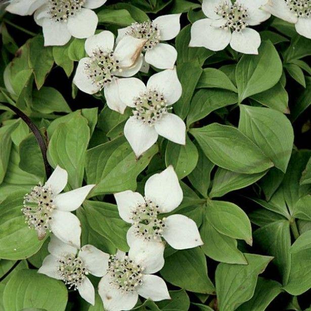 Les 25 meilleures id es de la cat gorie arbustes feuillage persistant sur pinterest arbustes - Arbuste fleurs blanches feuillage persistant ...