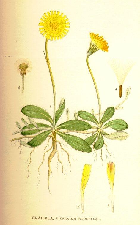 Hieracium pilosella L. - Bilder ur Nordens Flora / 1917-1926