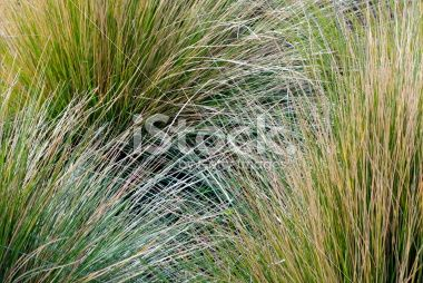 Tussock Grass Background Royalty Free Stock Photo