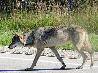 Great Lakes boreal wolf is an informal term used to describe canid hybrids between gray wolves and eastern wolves and possibly coyotes to mild extents
