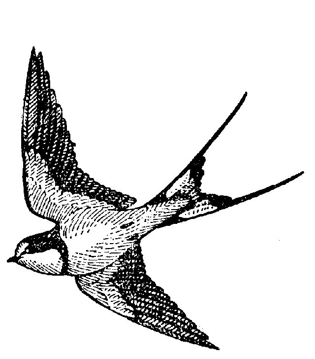 Swallow Tattoo Line Drawing : Swallow swift hawaii and design