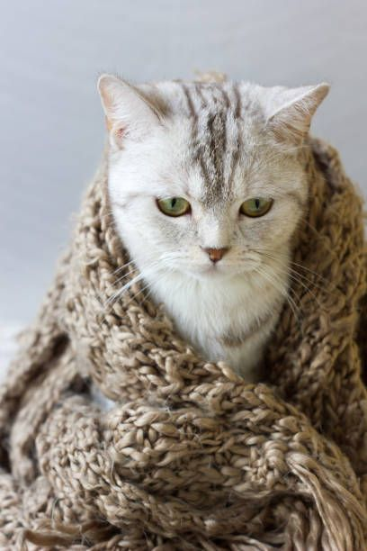 small grey cat wrap up in woolen scarf