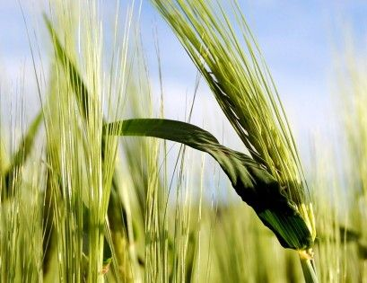 RNA sequencing of 750-year-old barley virus sheds new light on the Crusades