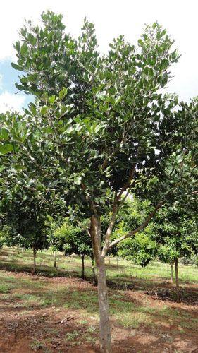 CUPANIOPSIS anacardioides (Tuckeroo) Australian Native Tree