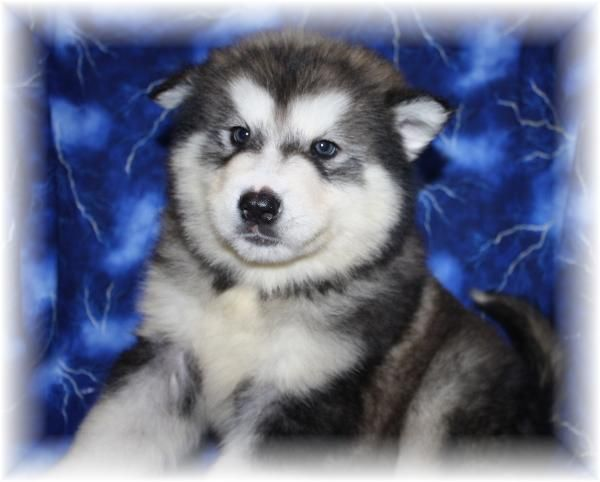 Giant Alaskan Malamute Malamute Puppies For Sale Malamute