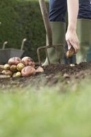 When to Plant Potatoes in Oklahoma thumbnail