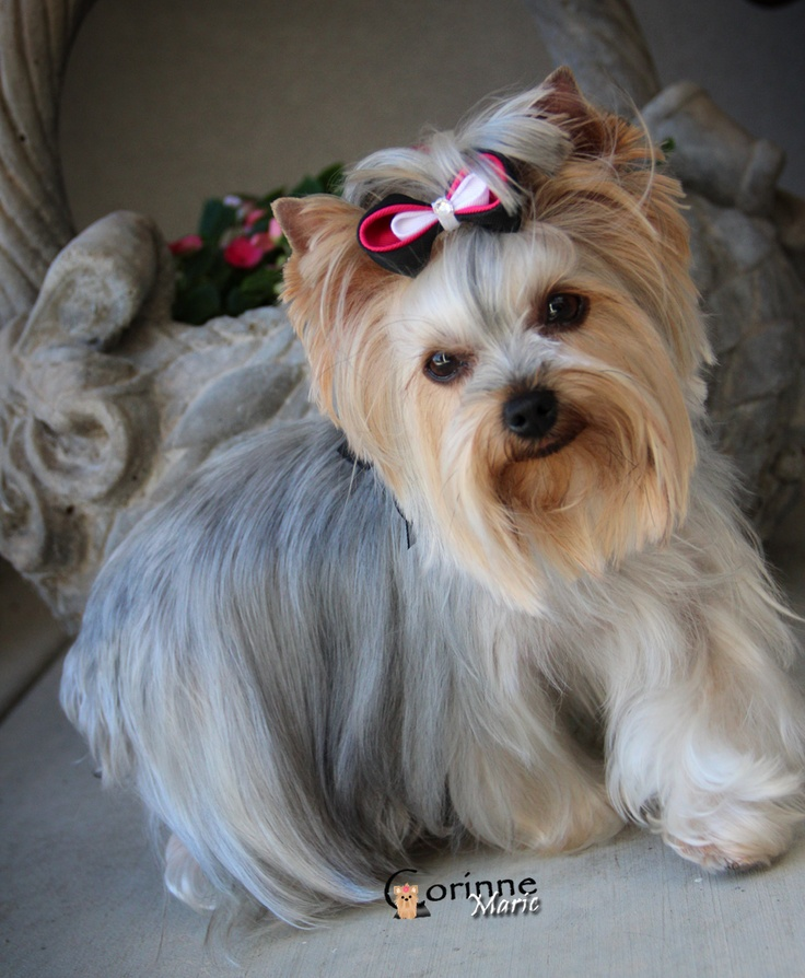 yorkie face trim the 25 best yorkie hairstyles ideas on pinterest yorkie 6377