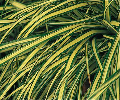 carex evergold plant - Google Search
