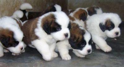 saint bernard puppies i want them all!: Puppy Dogs, Animals, Pet, Bernard Dogs, Saint Bernards, Puppys, Baby, Saint Bernard Puppies, Dogs St Bernard