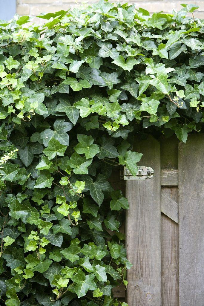 Hou je van klimop? De grootbladige Hedera hibernica geeft je tuin sfeer.