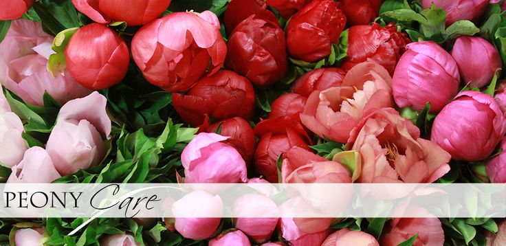 Peony Care Information