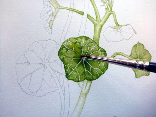 Jenny phillips botanical artist google search