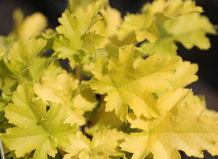 We love Heucheras, in particular Heuchera Lime Marmalade, which simply glows in pots, tubs, baskets or the garden. (While we keep a fantastic range of plants in stock 12 months of the year, we would advice giving us a ring if you are looking for a specific plant, call us now on 01924 276446)