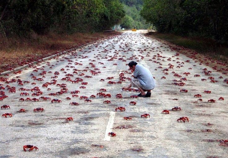 Annual Red Crab Migration on Christmas Island  (amusingplanet.com)