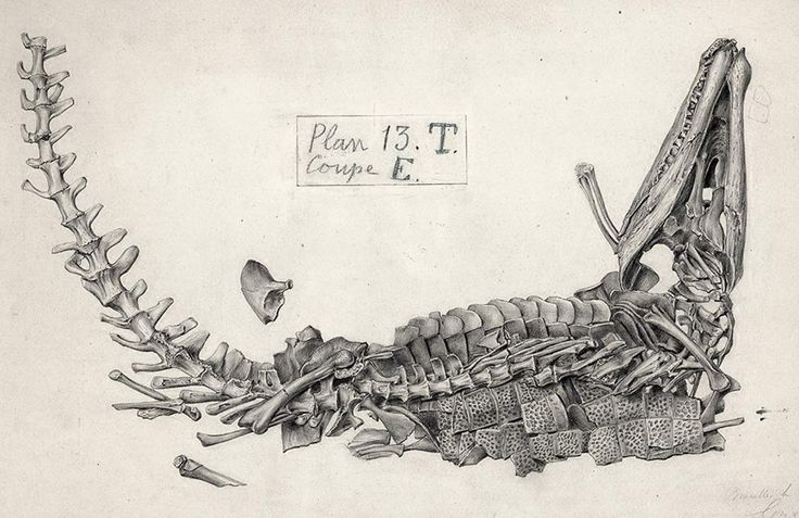 Another of the plates from the 1878 coal mine discovery, this time a crocodylomorph, probably Goniopholis (based on the osteoderm shape, but maybe Bernissartia (which has low rounded teeth, and is much smaller IIRC). Plate c1883. HD-ish. The Royal Belgian Institute of Natural Sciences