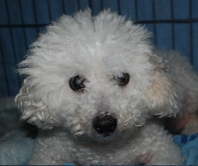 Little B is an adoptable Bichon Frise Dog in Morse Mill, MO. This Bichon is a small male who walks with a limp . He has not been around kids. I . Neutered house trained and crate trained around 4 year...