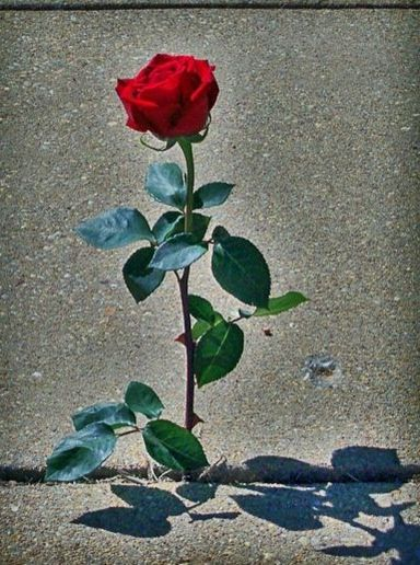 The Rose That Grew from Concrete Quotes