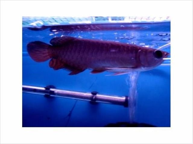 Super Red Arowana Fish For Available For Sale - Animals - Long Beach - California - announcement-80452