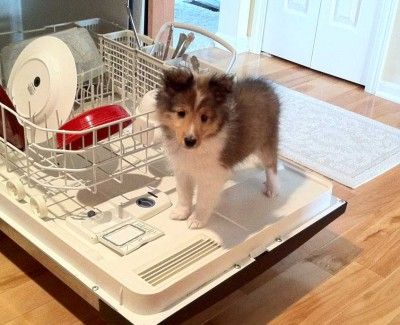 Yup.  That's what shelties do.  They stand on washers and herd anything that moves lol