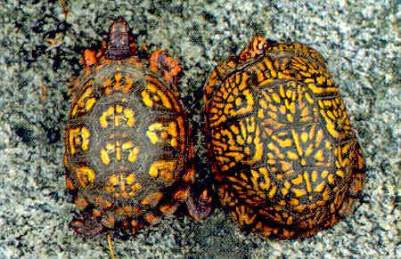 Eastern Box Turtle IDENTIFICATION: A medium-size turtle readily distinguished by its high domed shell, and hinged plastron, with moveable front and rear lobes ...