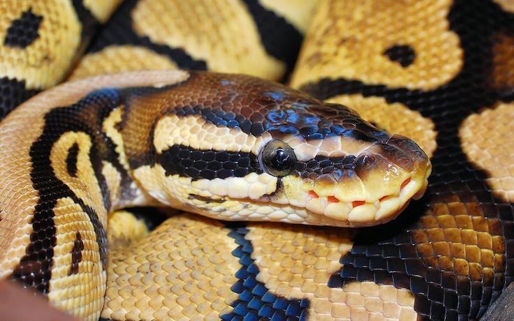 Pitón real (Python regius)