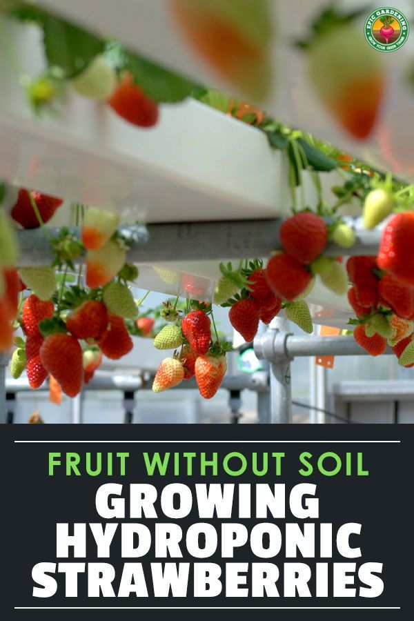 Hydroponic Strawberries Berries Grown Without Soil Epic Gardening In 2020 Hydroponic Strawberries Growing Fruit Hydroponics