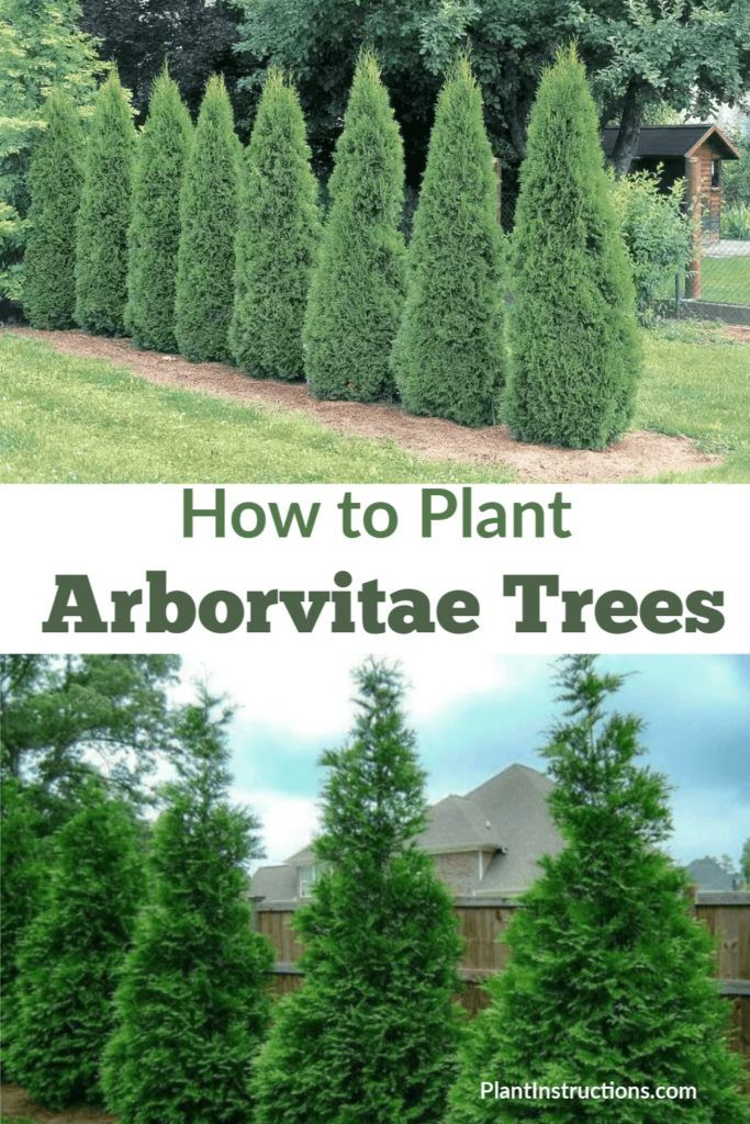 How To Plant Arborvitae Trees In 2020 Planting Arborvitae Arborvitae Landscaping Arborvitae Tree