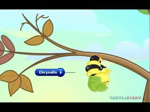 Kids can learn all about the butterfly life cycle with this fun and educational lesson plan. For more educational games and videos visit www.turtlediary.com