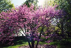 Eastern Redbud (Cercis canadensis) hardy in Mn
