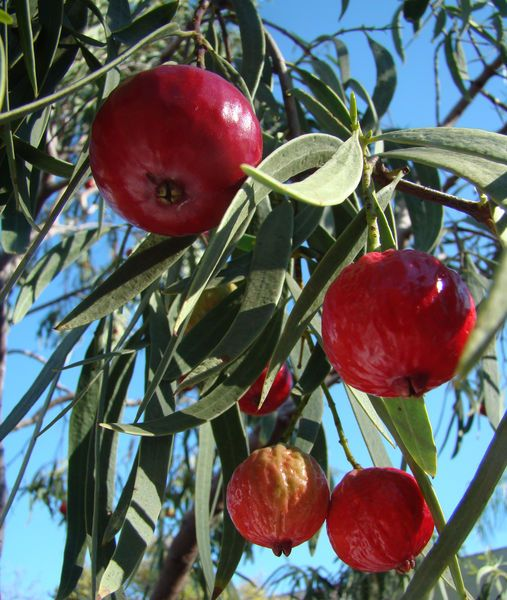 Quandong is an Australian bush food