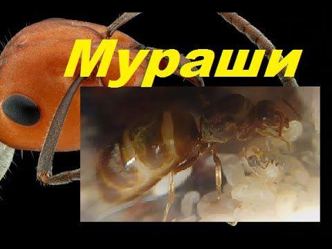 Первое потомство  Lasius niger . Новые мураши.