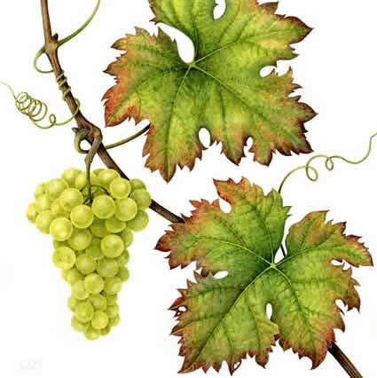 Lovely watercolor of Grapes by artist Christine Stephenson