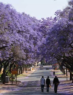 Jacaronda Trees in Pretoria, South Africa