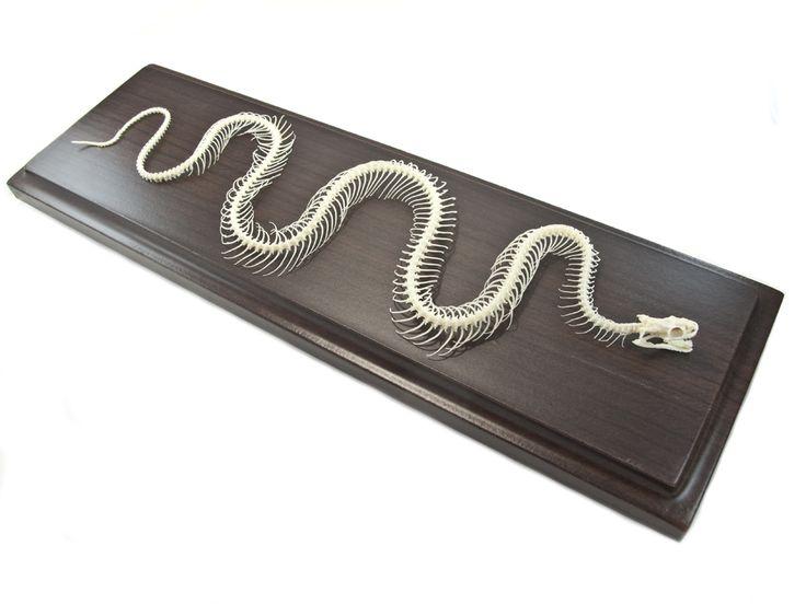 Oddities Store - Colubrid Snake Skeleton, $59.99 (http://www.odditiesstore.com/snake-skeleton-for-sale/)